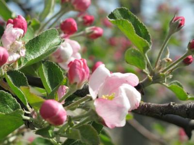 Omenapuu sopii kaupunkipihaan