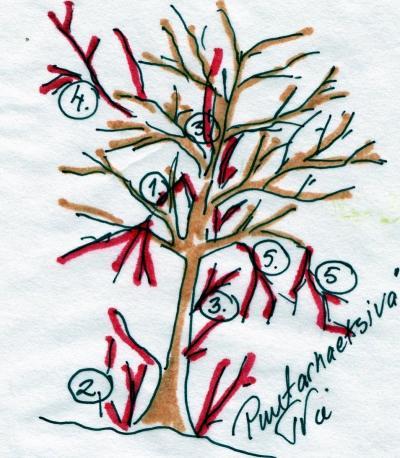 Omenapuun hoitoleikkaus