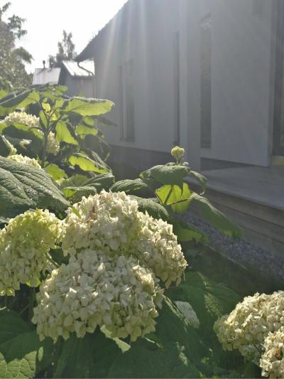 Pallohortensia kukkii heinäkuun lopusta syyskuun loppuun